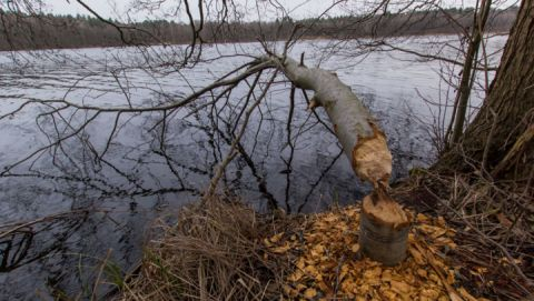Biber fällt Bäume im Müritz-Nationalpark
