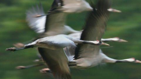 Die Kraniche fliegen ab Mitte August bis Ende Oktober jeden Abend zu den Schlafplätzen im Müritz-Nationalpark