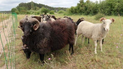 Guteschafe beweiden ab Anfang Juni die Blühwiesen an der Feisneck