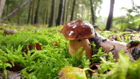 Pilze sammeln im Nationalpark - Steinpilz